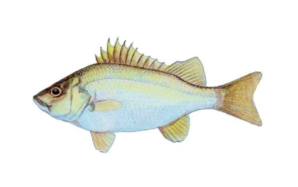 ayungin fish