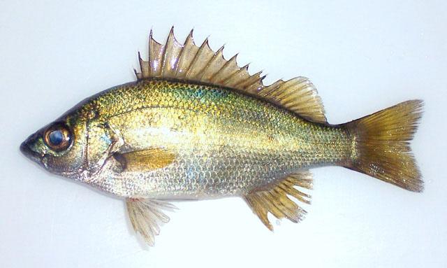 Leiopotherapon plumbeus for Kumak s fish