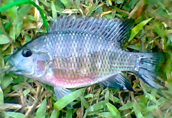 Tilapia fishing the philippines for Tilapia not real fish