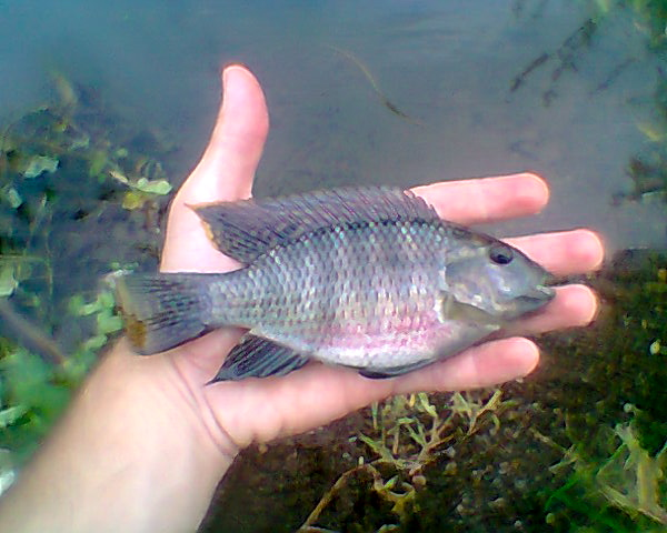 Red bellied tilapia tilapia zillii fishing the philippines for What kind of fish is tilapia