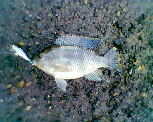 Tilapia fishing the philippines for Is tilapia a real fish