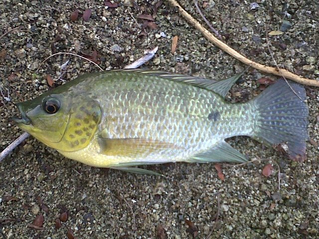 Tilapia fishing the philippines for What type of fish is tilapia