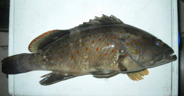 orange sppot grouper