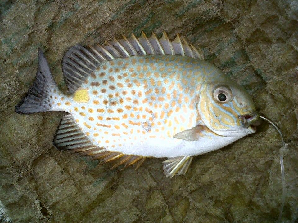 Rabbitfish Kitong Fishing The Philippines