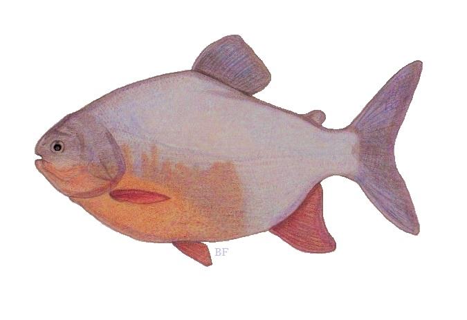 Red Pacu ( Piaractus brachypomus ) Fishing The Philippines