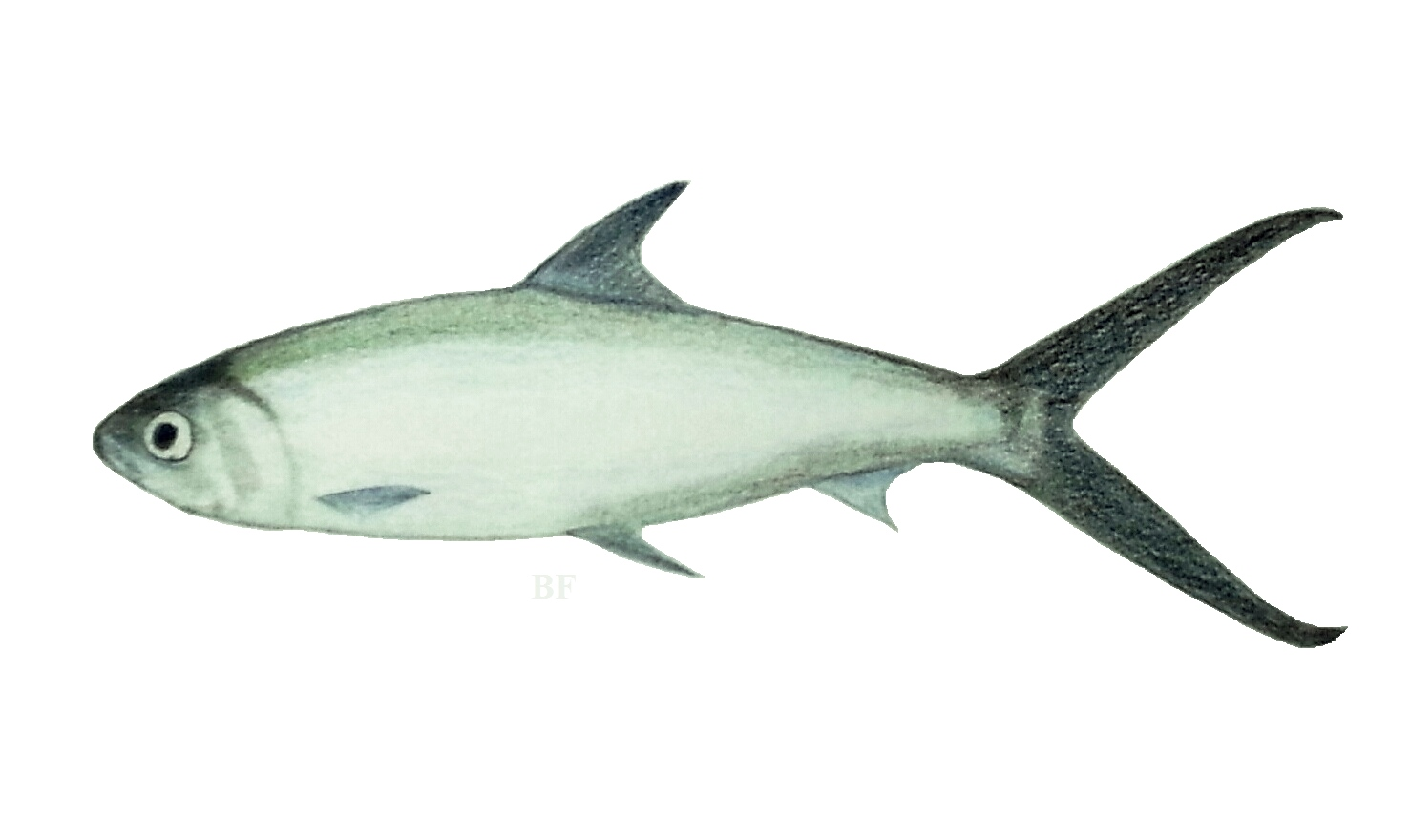 Catfish Red Tail Pirarara as well 182610850484 besides Monster Catfish Caught In Northern Italy Pics in addition Kitted Pike Adventure besides Milkfish Bangus. on fly fishing lures