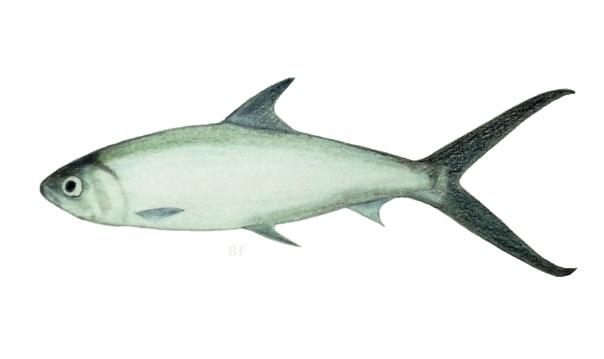 milkfish bf