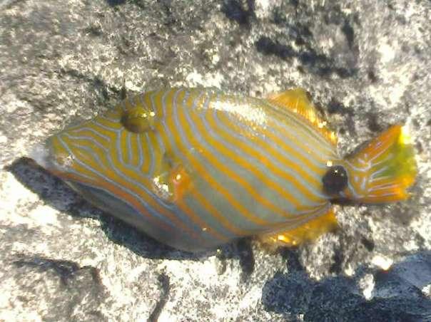 triggerfish species philippines