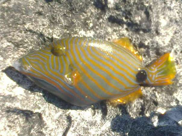 triggerfish species philippines