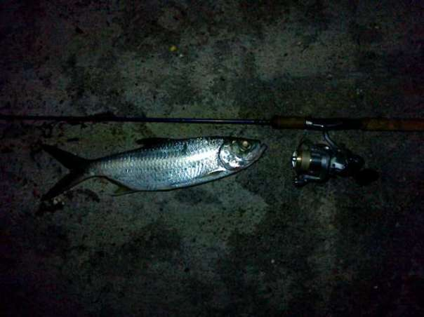 indopacific tarpon