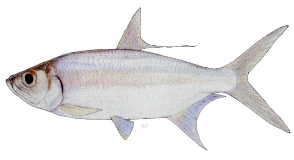 fish species of the philippines
