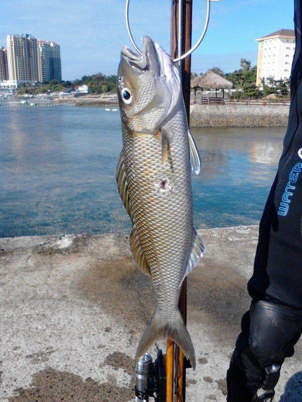 Green Jobfish Speared off Mactan Island