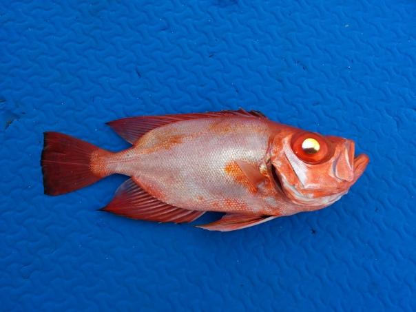 bukaw fish