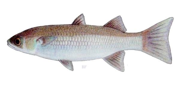 Cestraeus plicatilis