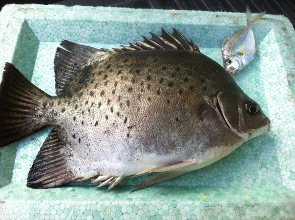 This is a Kitang which can also be caught when fishing for Kitong.