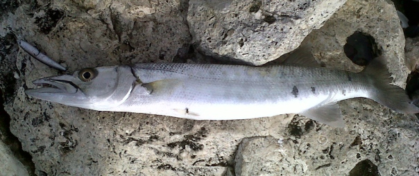 A healthy Barracuda caught on a lure
