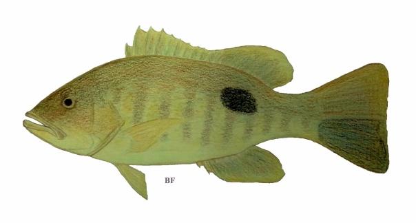 tangdungan fish