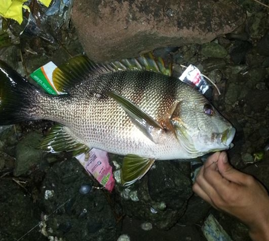 Maori Sea Perch caught in Subic Bay
