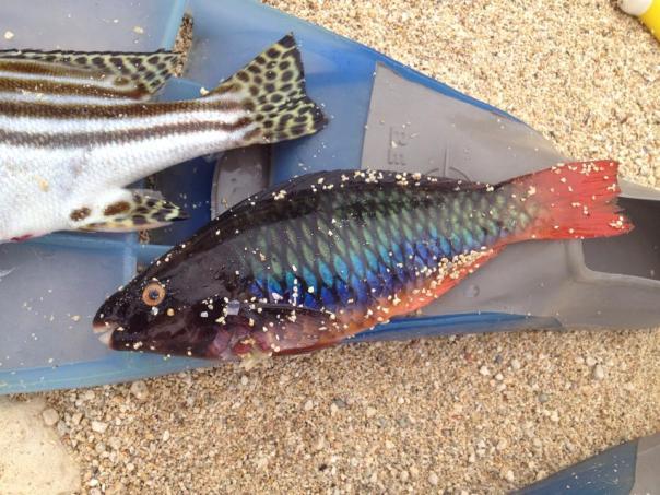scarus tricolor