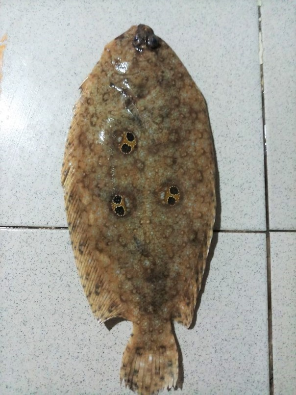 what species of flounder are there in the Philippines